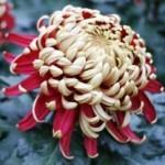 Chrysanthemum morifolium 'Crimson Tide'