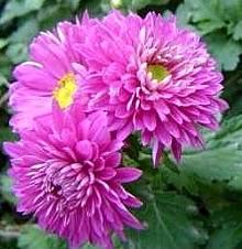 Kasımpatı çiçekleri