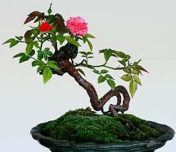 Bonsai gül