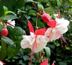 Küpe çiçeği - 'Swingtime' kültivarı
