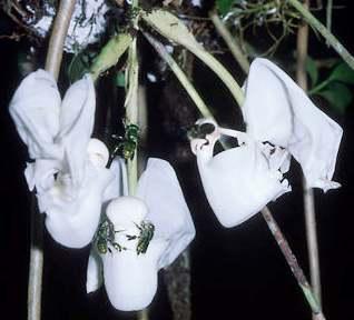 orkide arıları