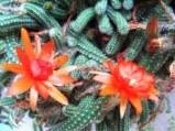 Çiçekli mini kaktüs