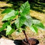 Çilli ağaç begonyası