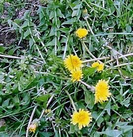 Karahindiba (Taraxacum officinale)