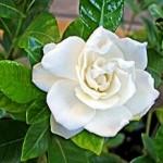 Gardenya çiçeği