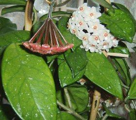 Mumçiçeğinin yaprakları ve çiçekleri
