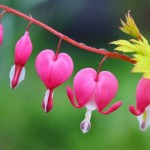 Ağlayan kalpler çiçeği