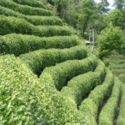 Çay yetiştirilen taraçalandırılmış dik yamaçlar