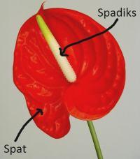 Antoryumun çiçek yapısında spat ve spadiks
