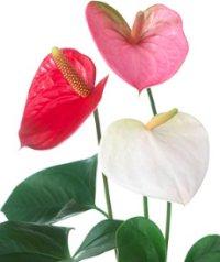 Kırmızı, beyaz, pembe antoryum çiçekleri