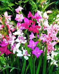 bahçe glayölleri (Gladiolus nanus)