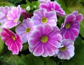 Onbir ay çiçeği