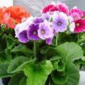 onbir ay çiçeği bakımı ve yetiştirilmesi