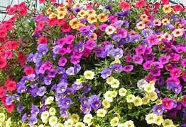 Calibrachoa petunyaları