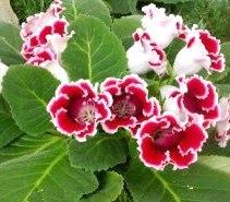 Gloksinya çiçekleri