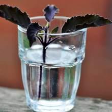 Bitkilerin suda köklendirilmesi