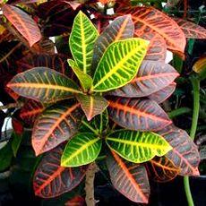 Kroton bitkisinin renkli yaprakları
