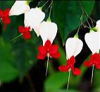 Kanayan kalpler sarmaşığının çiçekleri