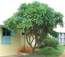 Plumeria ağacı