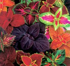 Kolyos çiçeği
