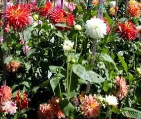 Yıldız çiçeği (Dahlia)