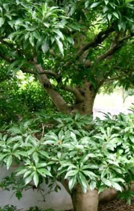 Çin çileği ağacı