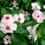 Vinka (pervane çiçeği)