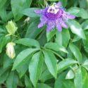 Passiflora incarnata, çarkıfelek