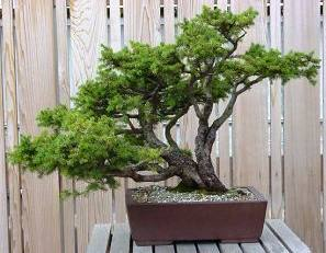 Bonsai ağaç