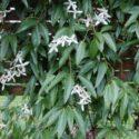 Clematis armandii'nin çiçekleri ve yaprakları