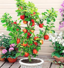 Meyve veren cüce elma ağacı
