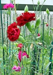 karanfil çiçekleri