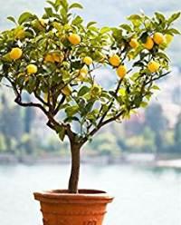 Cüce limon
