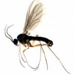 Toprak sineği