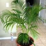 Areca palmiye (Dypsis lutescens)