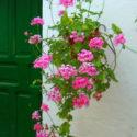 Kapı yanına duvara monte edilmiş saksıda sakız sardunyası
