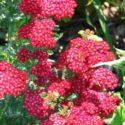 Kırmızı çiçekli civan perçemi