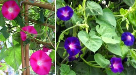 sabah sefası, Ipomoea purpurea