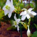 Amazon zambağının çiçekleri