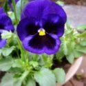 Koyu mor renkte çiçek açan hercai menekşe