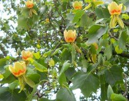 Lale ağacı çiçekleri