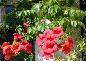 acem borusu, yetiştirilmesi, bakımı, çoğaltılması bilgileri