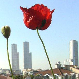 Gelincik, çiçeği ve tomurcuğu