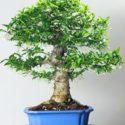 Su yasemininden bir bonsai
