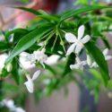 Su yasemininin çiçekleri