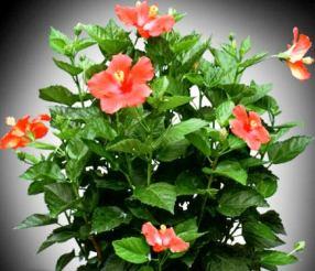 Japon gülü - Hibiscus rosa-sinensis