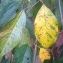Yaprak sararmalarına karşı tedbirler, tedaviler