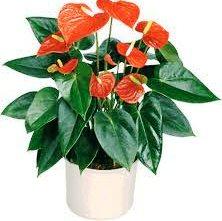 İçmekan bitkilerinde çiçek büyüklüğü ve sayısı