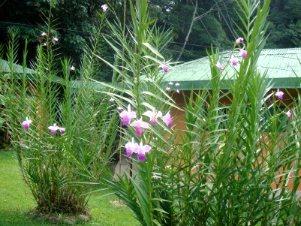 Bahçede bambu orkidesi