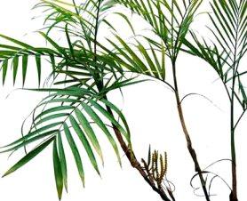 Bambu palmiyesi